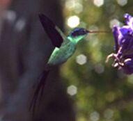 BAku Kolibri