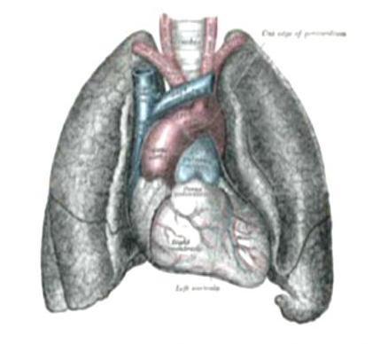 Tolle Herz Anatomie Und Physiologie Wikipedia Fotos - Anatomie und ...