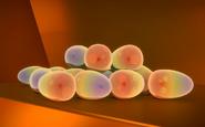 Tardigrade eggs