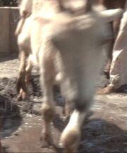 Baku goat