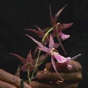 Favinit plant