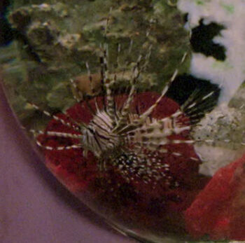 Livingston the lionfish, 2364