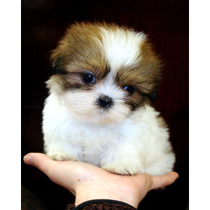 Image Puppy Male Shih Tzujpeg Memory Delta Wiki Fandom