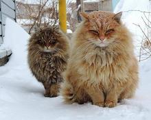 СибирскиеКоты