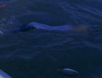 Merman Swimming