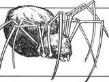 Nack spiders
