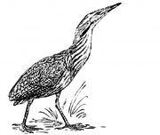 Bird-bittern-illustration-clipart