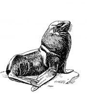 Seal-illustration-clipart