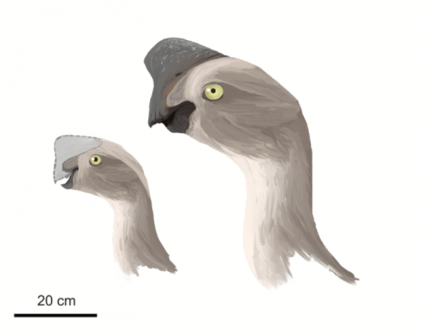 File:Oviraptor-Matthew-Martyniuk-600x467.png