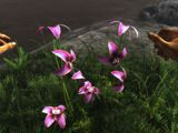 Rainbow Orchid