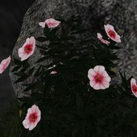 White pink viola