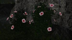 White-pink viola