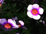 Indigo Asteraceae