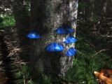 Blue Scaly Tree Fungus