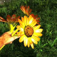 Sunflower variant in the hand