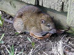 File:240px-Rattus norvegicus 2.jpg