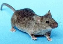 240px-House mouse