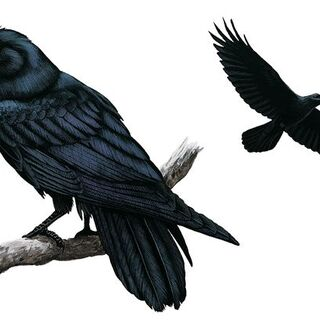 This is the raven, the national animal of The Republic of Taliesin