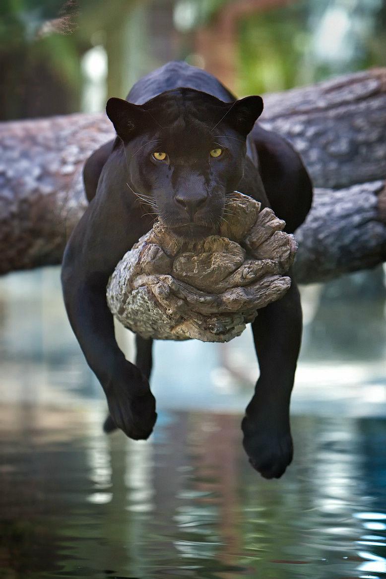 image 153196 black jaguar jpg middle earth roleplay wiki