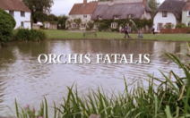 Orchis-fatalis