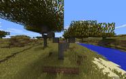Tree#Acacia