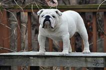 Bulldog stud dog2