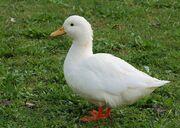 Pato de granja -Pato-
