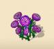 Purple Knawel Blossom