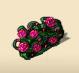 Pink Rose Hedge