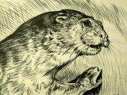 Corr otter