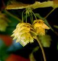 Humulus lupulus L..jpg