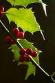 Ilex aquifolium.jpg