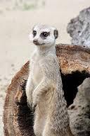 Genex Meerkat