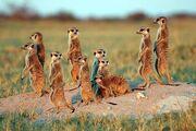 Meerkats 8sfw
