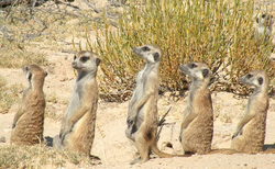 Prarie Dogs Mob