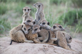South African Meerkat Project portrait