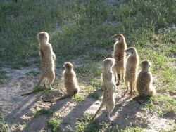 Mongoose Mob