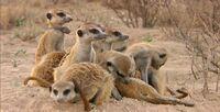 Meerkat Mob 001
