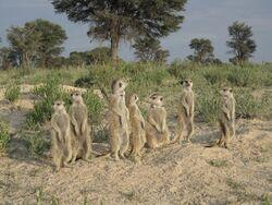 Kalabari Mob