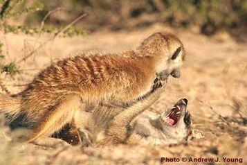 Meerkats fight
