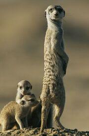 Scarface Wildkats