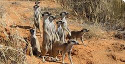 Meerkat mob 2