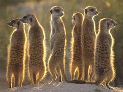 Meerkats 1024
