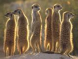 Meerkats Wiki