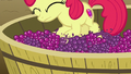 Apple Bloom on a tub of grapes S6E4.png