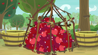 Pile of apples inside the cage trap S9E10