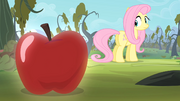 Fluttershy looking at an apple S4E07