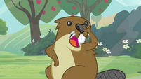 Beaver chittering to its friends S3E05