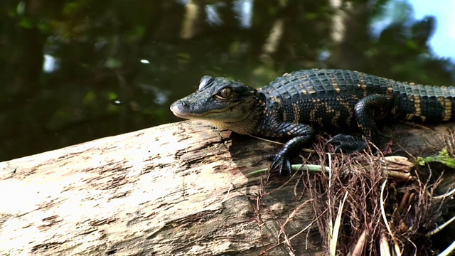 File:A real-life baby alligator in place of Gummy S4E12.png
