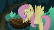 S08E13 Fluttershy wkłada pisklę do gniazda
